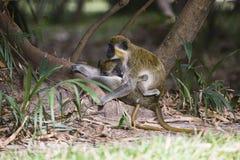 Affemutter und -junge Stockfotos