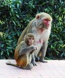 Affemutter und -kind Stockfoto