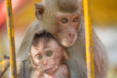 Affemutter und -kind Stockfotografie