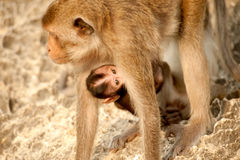 Affemutter und -sohn. Stockfoto