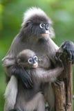 Affemutter und Sohn (Presbytis Obscura Reid). Lizenzfreie Stockbilder