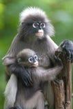 Affemutter und Sohn (Presbytis Obscura Reid). Lizenzfreie Stockfotos