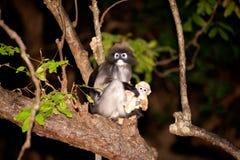 Affemutter und Sohn (Presbytis-obscura Reid). Lizenzfreie Stockbilder
