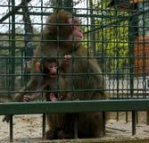 Affen überraschte Mutter Stockfoto