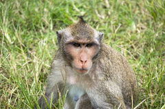 Affen in Angkor Wat Cambodia Lizenzfreie Stockbilder