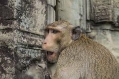 Affen in Angkor Wat Cambodia Lizenzfreies Stockbild