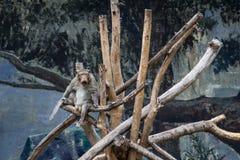 Affen auf Baum Affeporträt Lizenzfreie Stockfotos