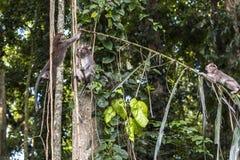 Affen auf Baum im Affewald, Bali Lizenzfreies Stockbild