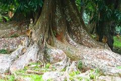 Affen auf Baum mit erstaunlicher Wurzelstruktur Lizenzfreie Stockbilder
