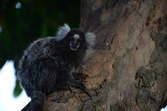 Affen auf dem Baum, der einen wissenschaftlichen Namen des Frühstücks hat: Callithrix stockbilder