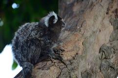 Affen auf dem Baum, der einen wissenschaftlichen Namen des Frühstücks hat: Callithrix stockfotografie