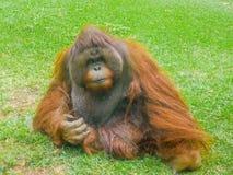 Affen auf dem Gras Lizenzfreie Stockfotografie