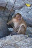 Affen auf den Inseln Lizenzfreie Stockfotos
