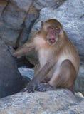 Affen auf den Inseln von Phi Phi Stockbilder