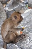 Affen auf den Stränden von Thailand Lizenzfreie Stockfotos