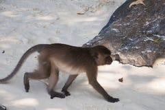 Affen auf den Stränden von Thailand Stockfotografie