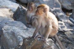 Affen auf den Stränden von Thailand Stockfoto