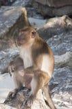 Affen auf den Stränden von Thailand Stockfotos