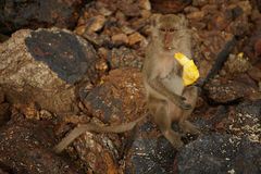Affen auf der felsigen Küste Stockfotografie