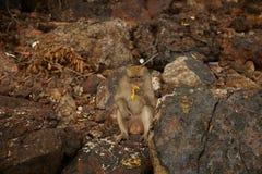 Affen auf der felsigen Küste Lizenzfreie Stockbilder