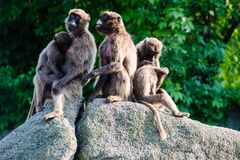 Affen auf einem Felsen Stockfotos