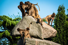Affen auf einem Felsen Stockfotografie