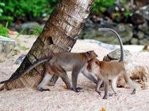 Affen auf einem Strand Stockfotos