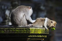 Affen auf einem Tempel Lizenzfreie Stockfotografie