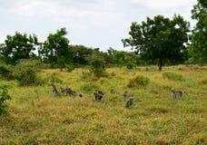 Affen auf einer Savanne Stockfotografie