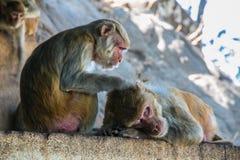 Affen auf Myanmar Lizenzfreie Stockfotos
