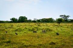 Affen auf Savanne Stockbilder