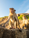 Affen auf Sri Lanka, Lebensmittel stiehlt auf Ceylon Stockbilder