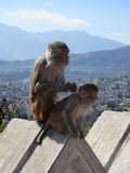 Affen auf Zaun Stockfoto
