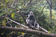Affen bei Sigiriya in Sri Lanka Stockfoto