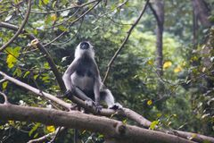 Affen bei Sigiriya in Sri Lanka Lizenzfreies Stockfoto