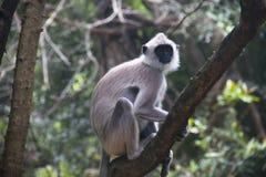 Affen bei Sigiriya in Sri Lanka Stockbild