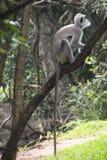 Affen bei Sigiriya in Sri Lanka Lizenzfreie Stockfotografie