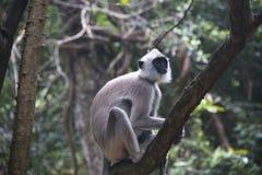Affen bei Sigiriya in Sri Lanka Stockfotografie