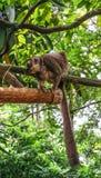 Affen in botanischem Garten Singapurs lizenzfreies stockbild