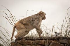 Affen in der indischen Stadt Stockbilder