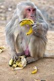 Affen in der indischen Stadt Stockfoto