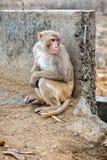 Affen in der indischen Stadt Stockbild