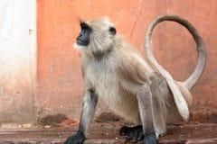Affen in der indischen Stadt Lizenzfreies Stockfoto