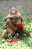 Affen in der Liebe Stockfoto