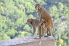 Affen in der Liebe Lizenzfreies Stockbild