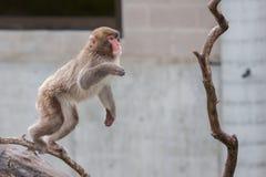 Affen des Makaken-(Schnee) Lizenzfreies Stockfoto