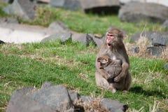Affen des Mutter-und Baby Makaken-(Schnee) Stockfotos