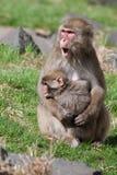 Affen des Mutter-und Baby Makaken-(Schnee) Stockbilder