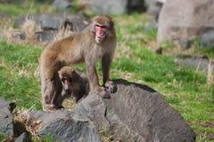 Affen des Mutter-und Baby Makaken-(Schnee) Lizenzfreies Stockbild