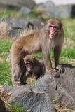Affen des Mutter-und Baby Makaken-(Schnee) in der Weichzeichnung Stockfotografie